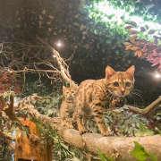喵咪咖啡屋 豹猫