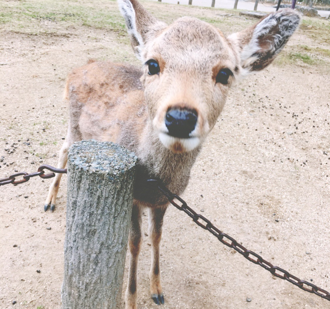 奈良的鹿跟日本人一样有礼貌,见人都会点头2333